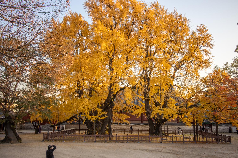 수령 500년의  거대 은행나무 단풍이 멋진 성균관