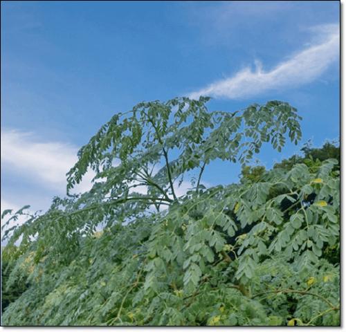 모링가나무