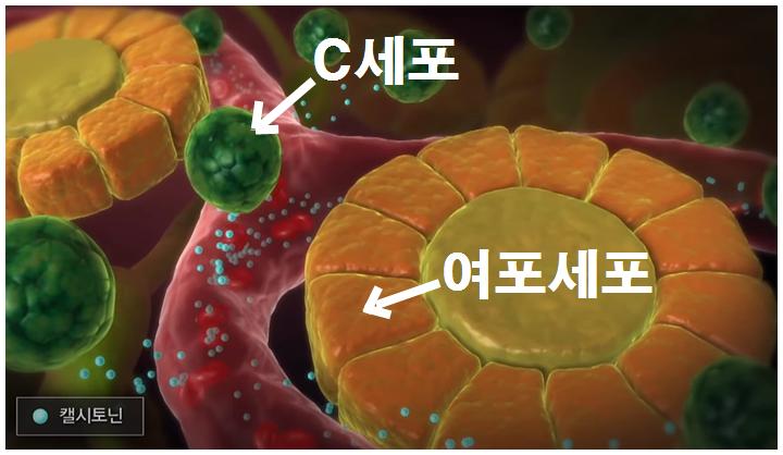 c세포-여포세포-캘시토닌