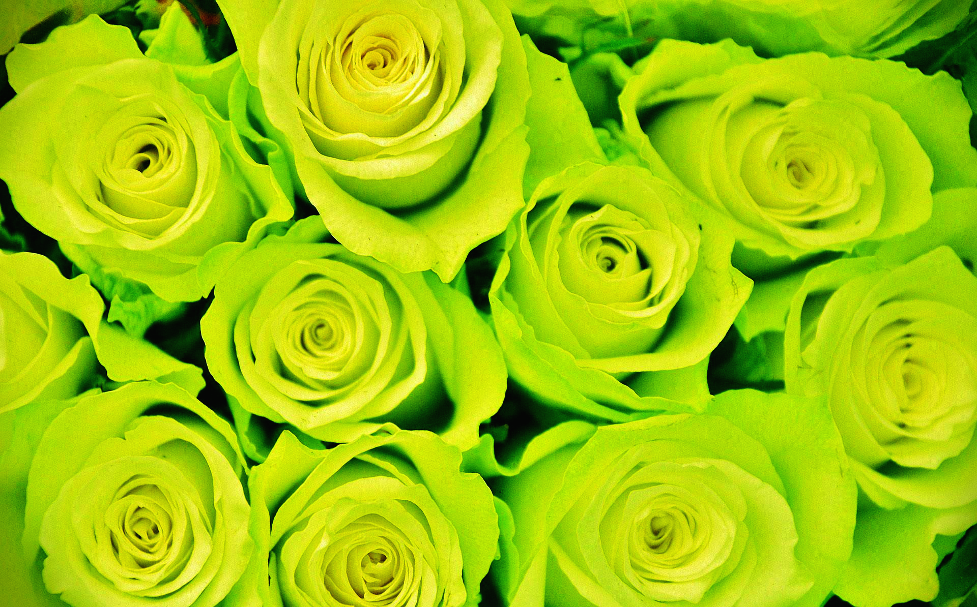 초록색장미꽃말