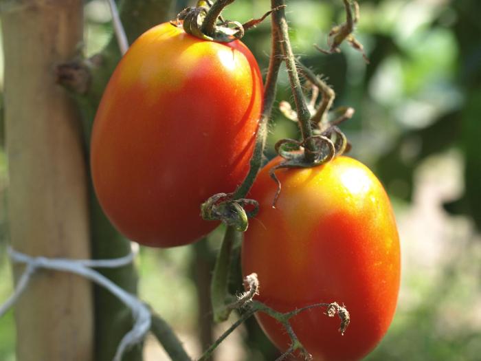 ステビアトマトただしマト土マンゴーカロリー