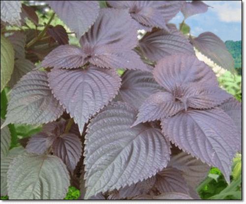 자소엽 식물