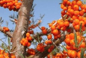 비타민 나무 효능04