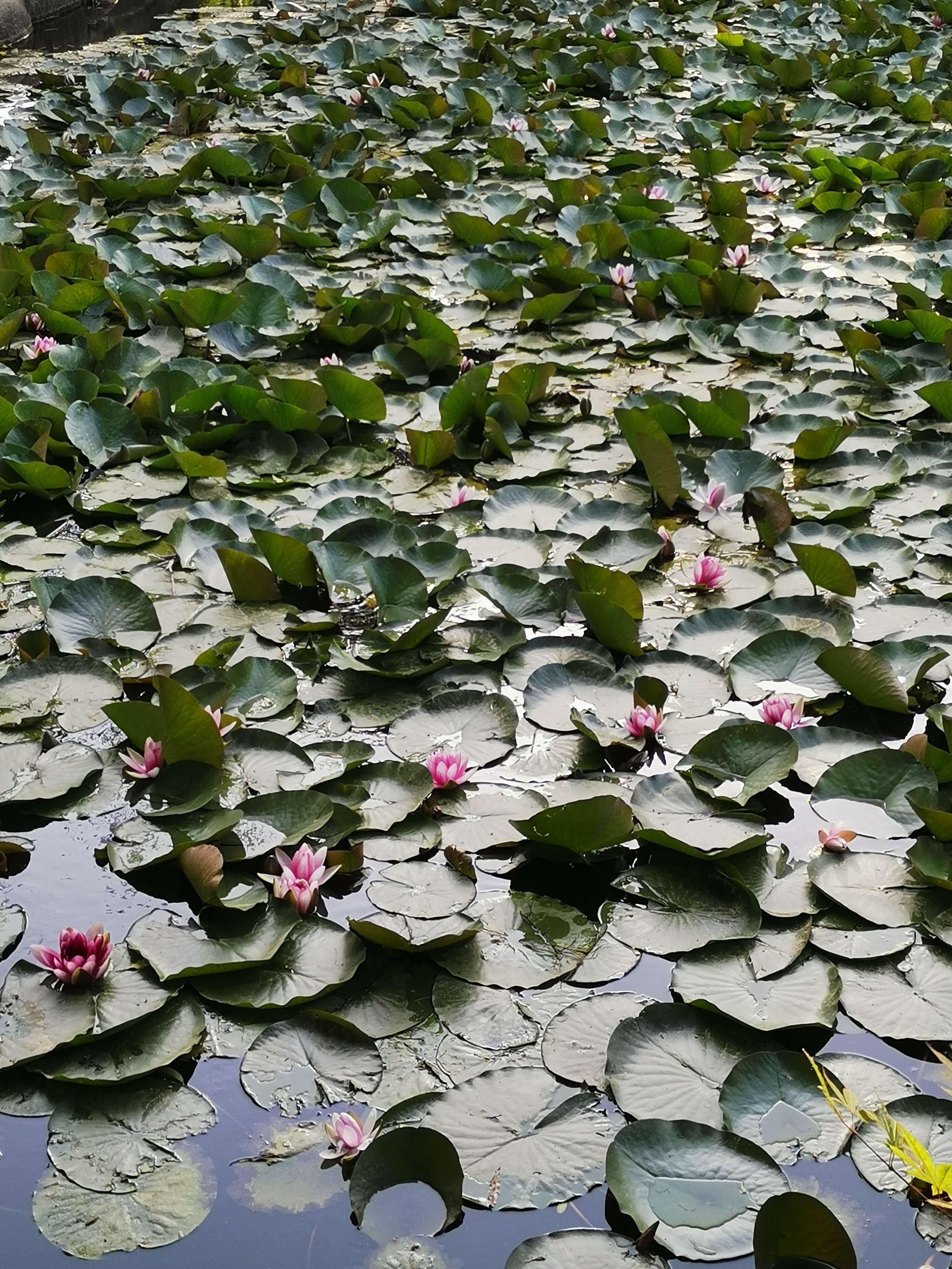 연못에_연꽃과_연잎이_가득하다