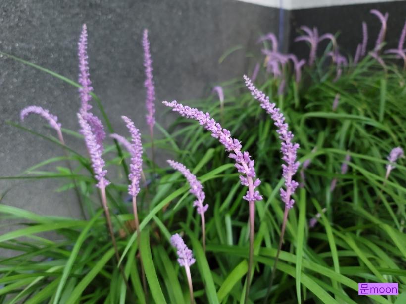 (맥문동) 작은 군락을 이룬 보라색 맥문동꽃