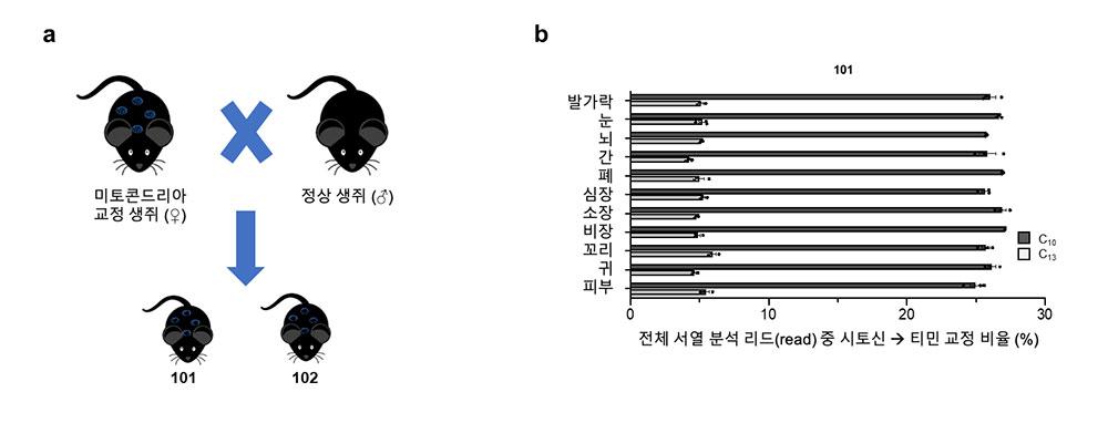 ▲ DdCBE에 의해 교정된 미토콘드리아 DNA의 자손세대 전달