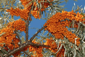 비타민 나무 효능06