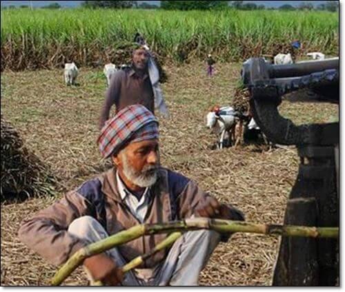 사탕수수 재배