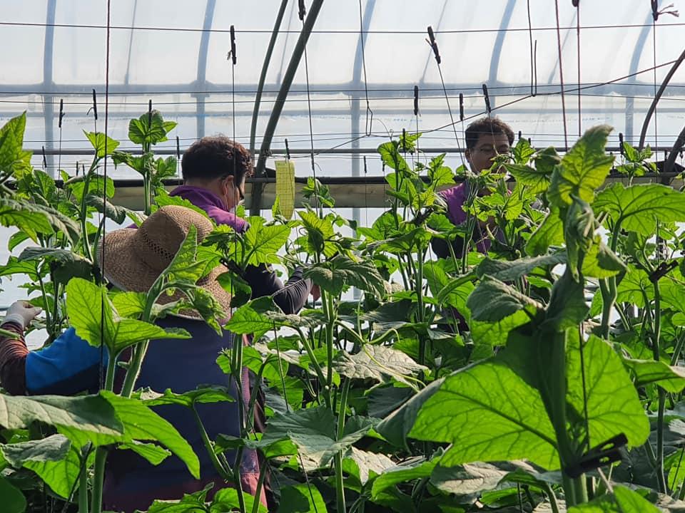 농촌 일손 돕기 활동- 동곡동 토마토 농가