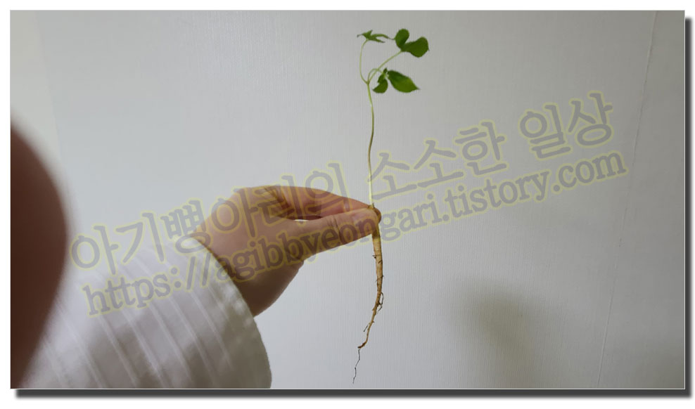 새싹삼실물