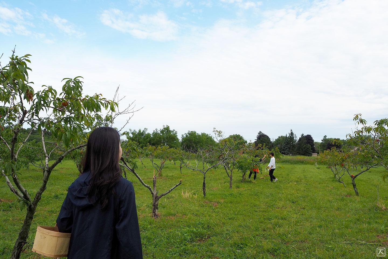 복숭아나무 농장