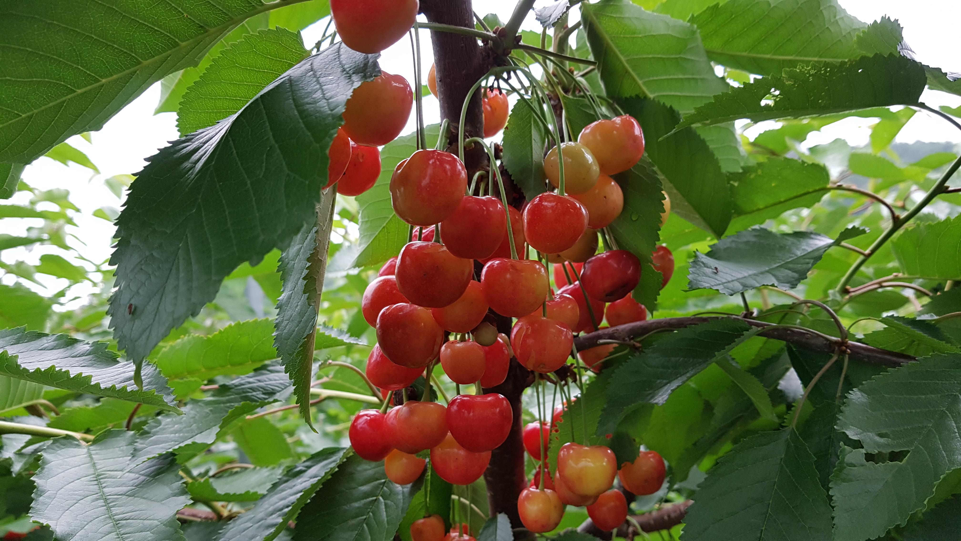 체리묘목(체리나무) 가을. 봄 식재분 7월 15일부터 상담합니다.