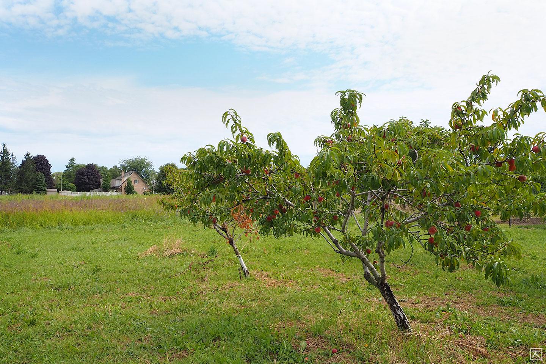 복숭아나무 농장 날씨