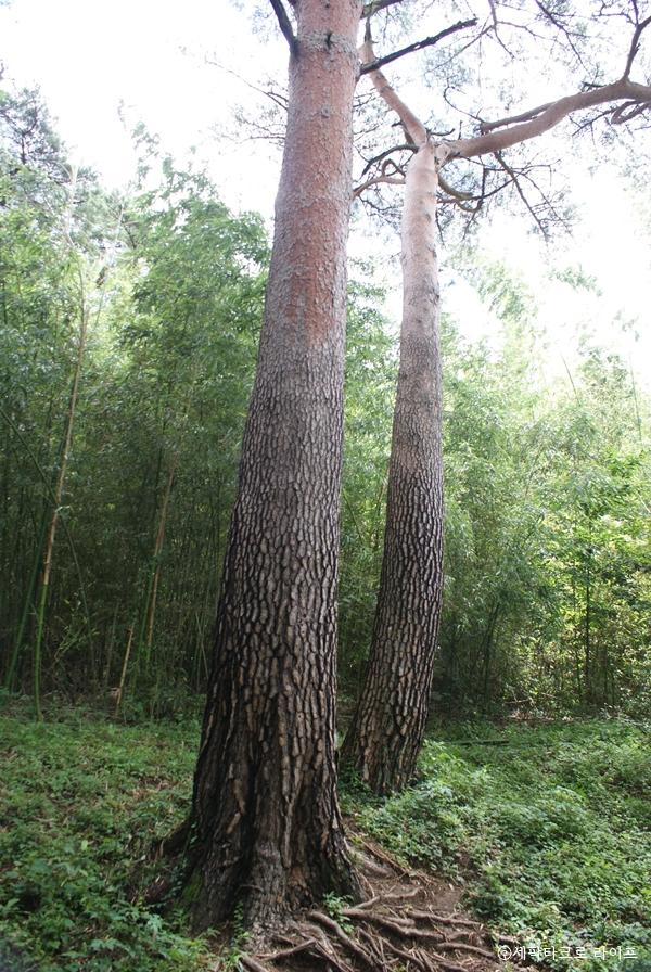 아홉산숲_금강소나무