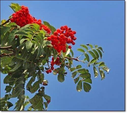 마가목열매