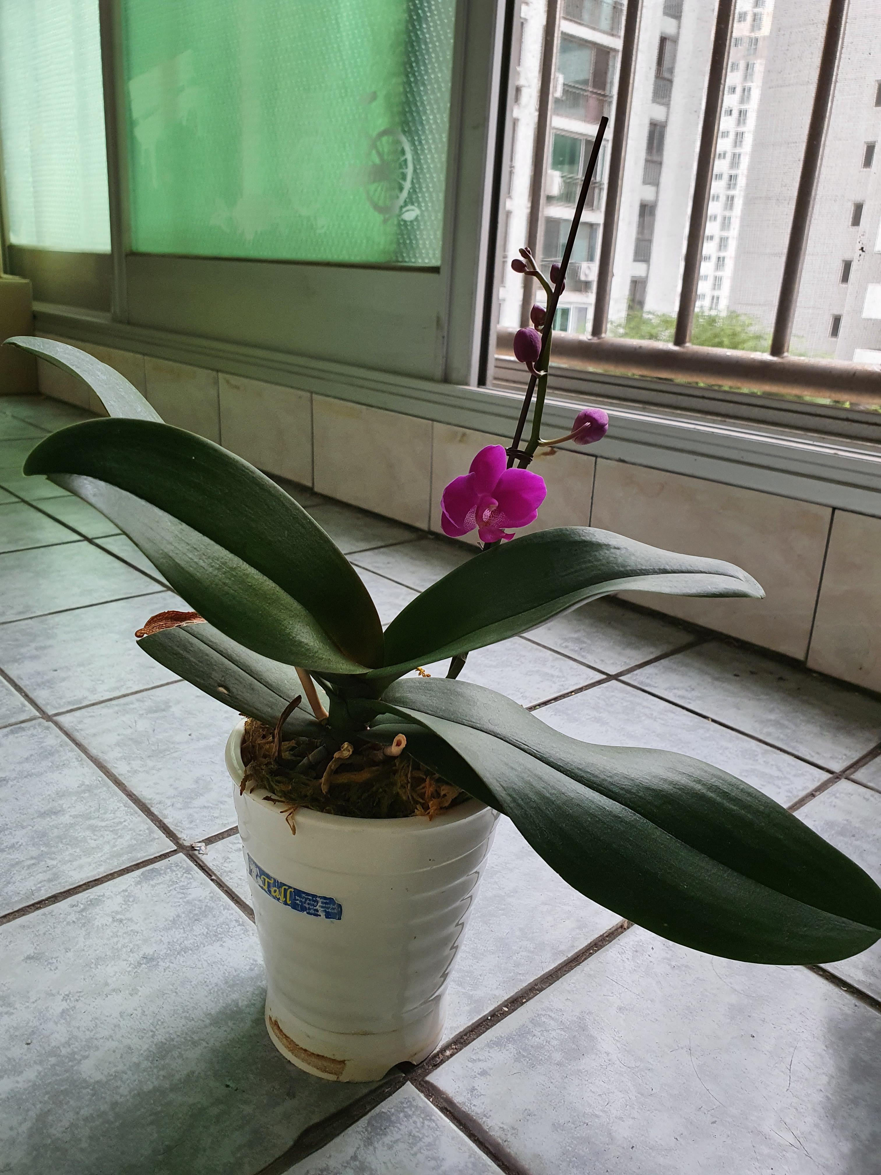 (집에서 키우던) 호접란에 꽃이 피다 : 계속 죽이기만 하고, 새로 사온 화분 꽃만 보다가...