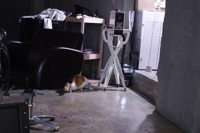 먼치킨고양이