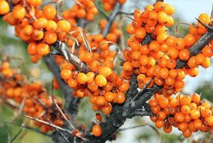 비타민 나무 효능11