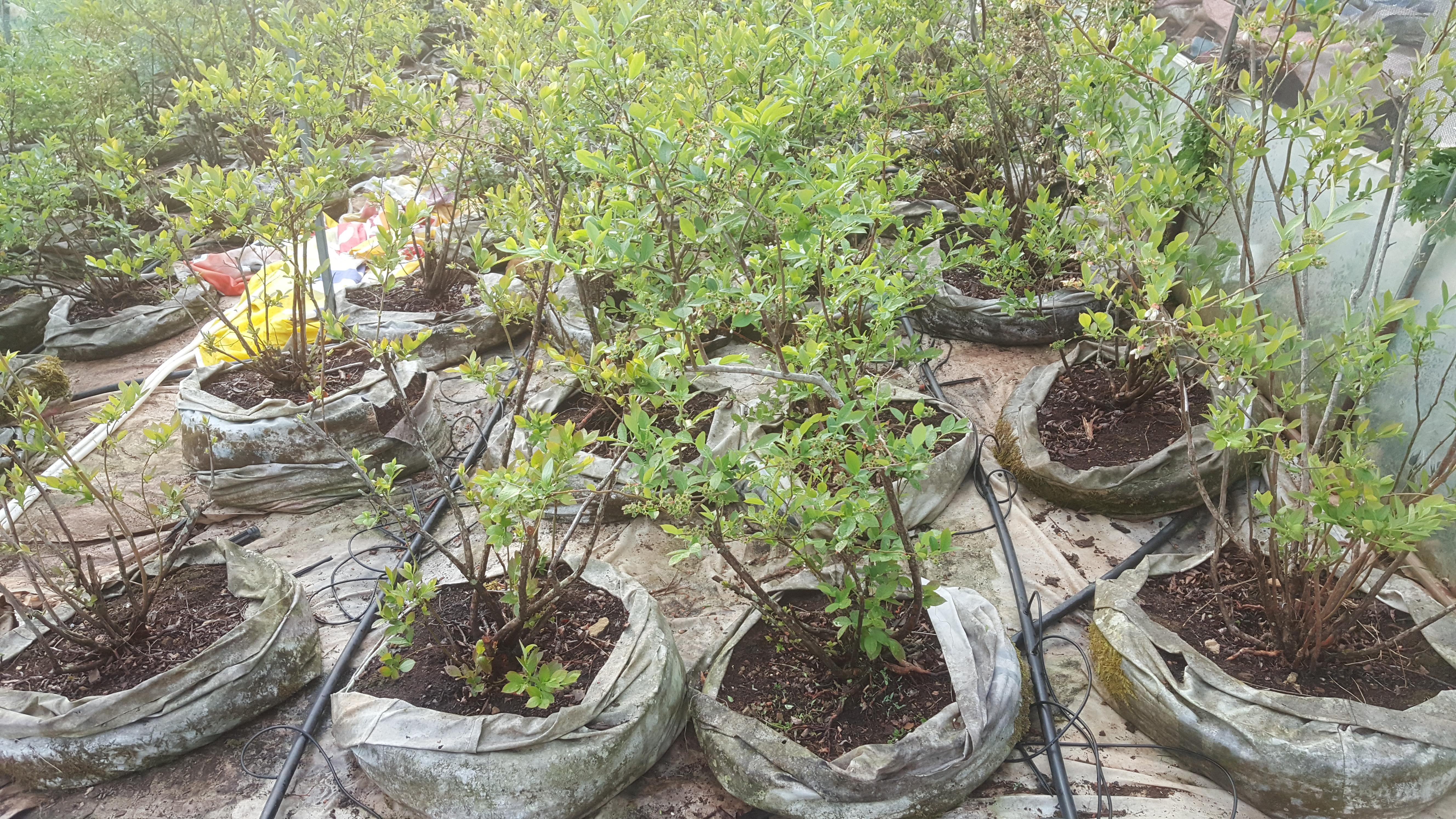 블루베리 현수막 백 재배