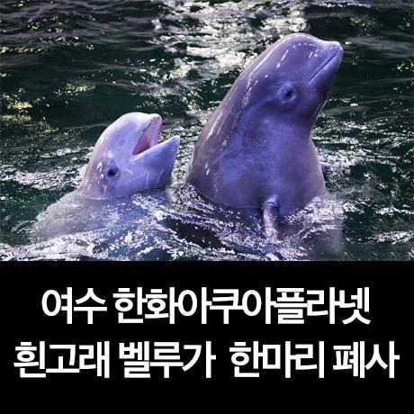 여수 한화아쿠아플라넷, 흰고래 벨루가 2마리 중 1마리 폐사