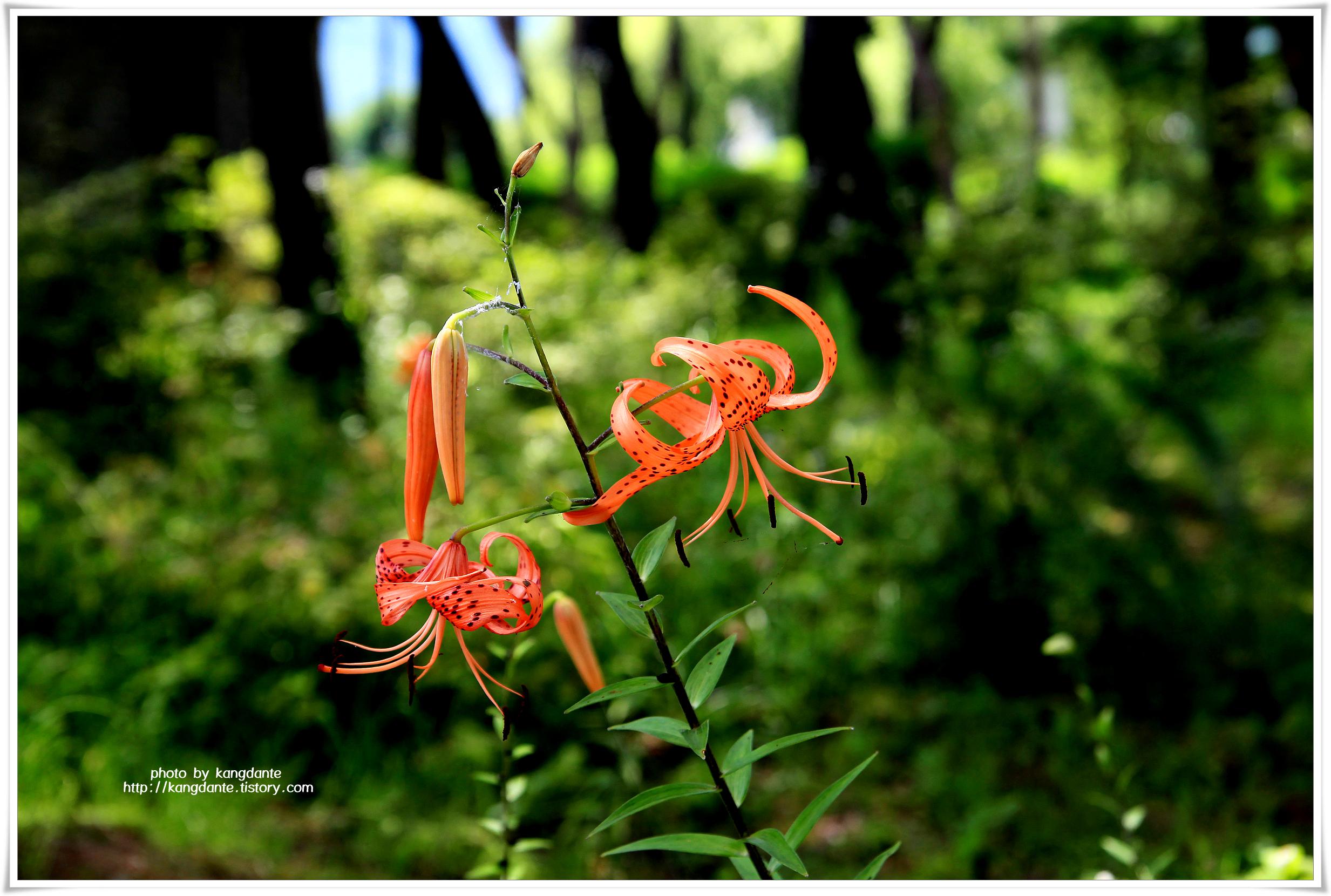 세미원의 참나리꽃과 능소화