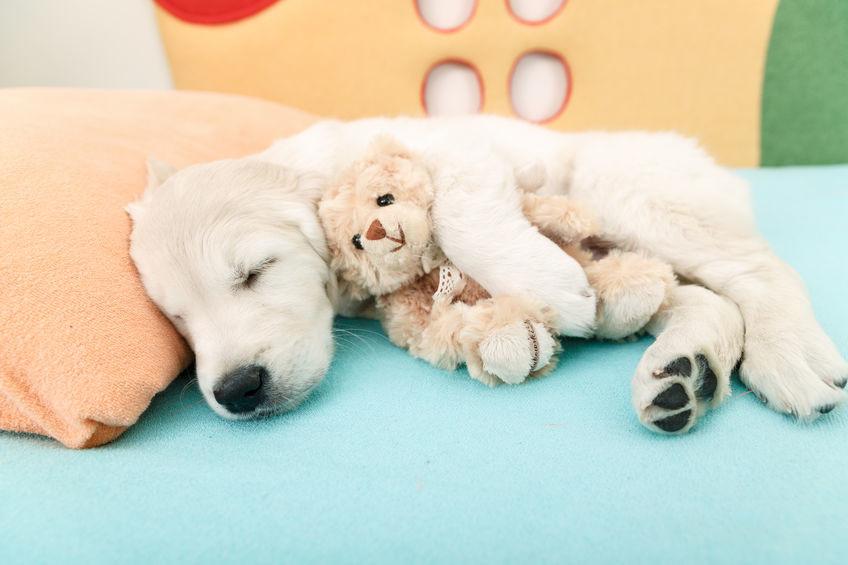 강아지의 올바른 수면 훈련 (+ 수면 시간 잠자는 자세 잠꼬대 )