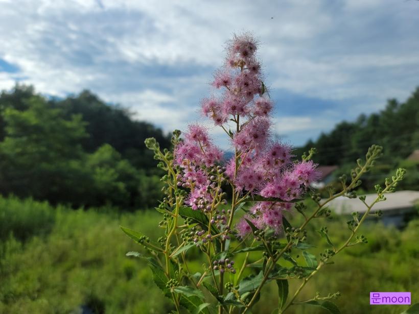 (꼬리조팝나무) 삽목한지 3년만에 새가지 끝에 꽃을 피워준 꼬리조팝나무