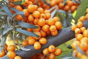 비타민 나무 효능08