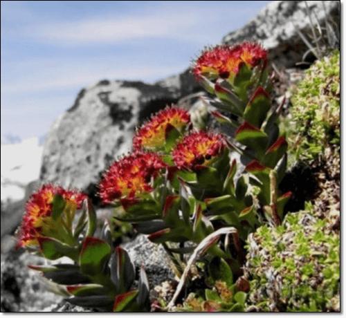 홍경천 꽃