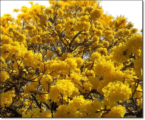 타히보 노란꽃