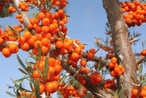비타민 나무 효능01