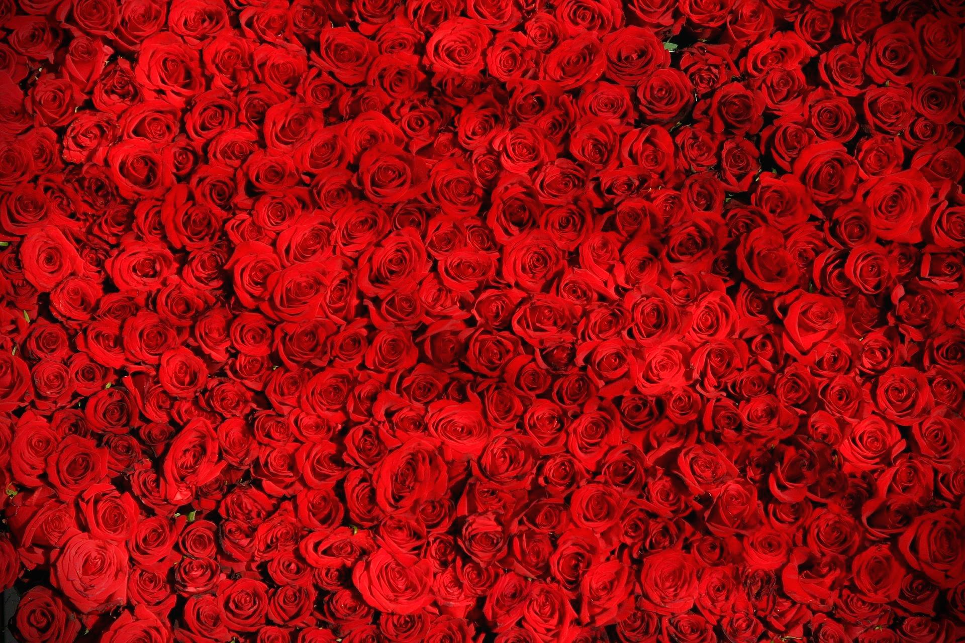붉은장미개수의미