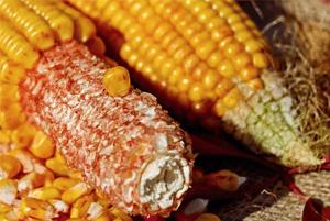 옥수수속대효과02