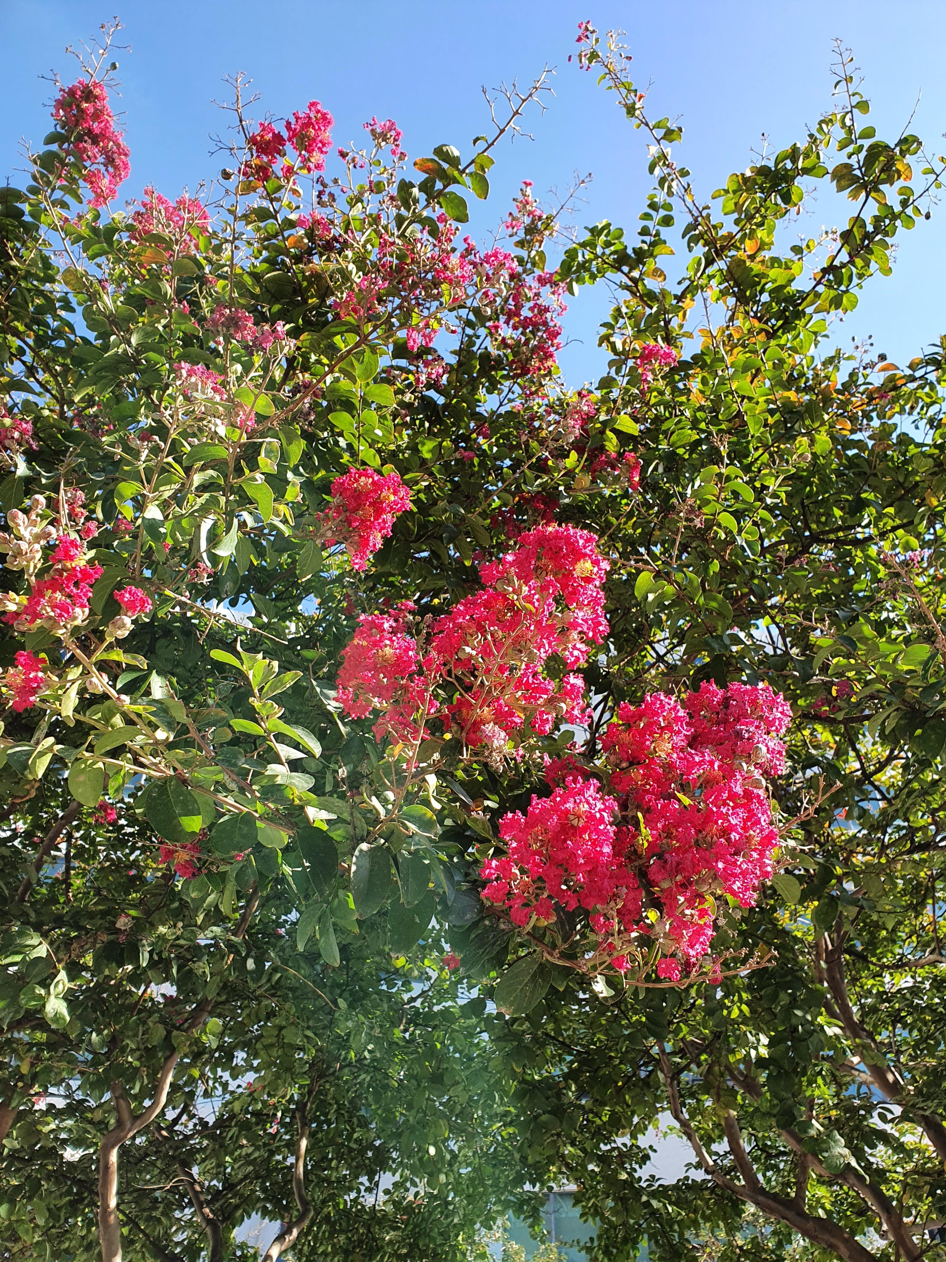 배롱나무 꽃.. 사라지기전에 반짝반짝 빛나는
