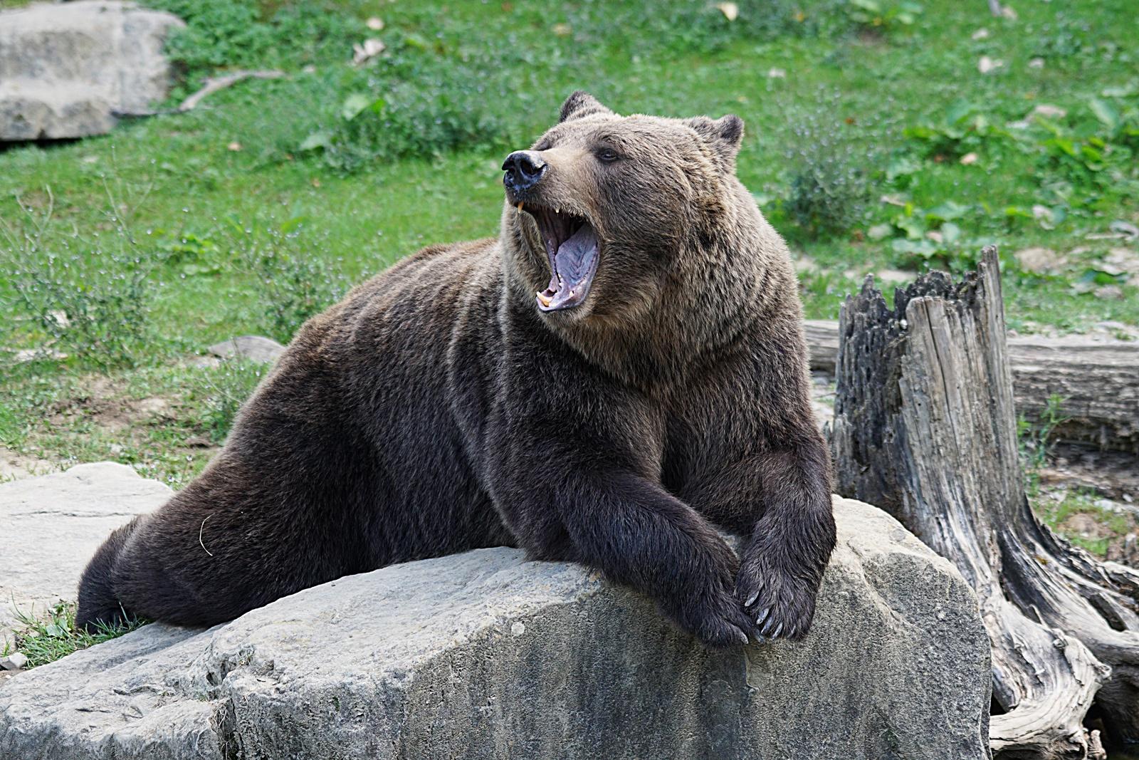 하품하는 곰