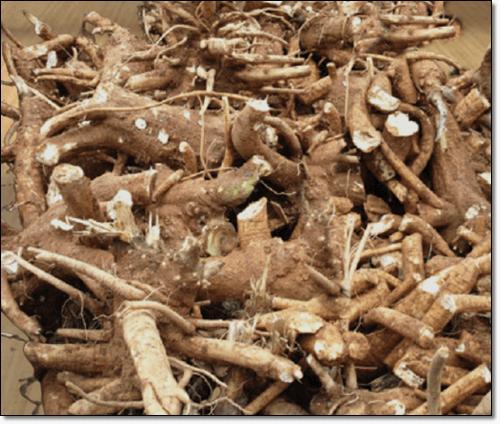 자리공뿌리