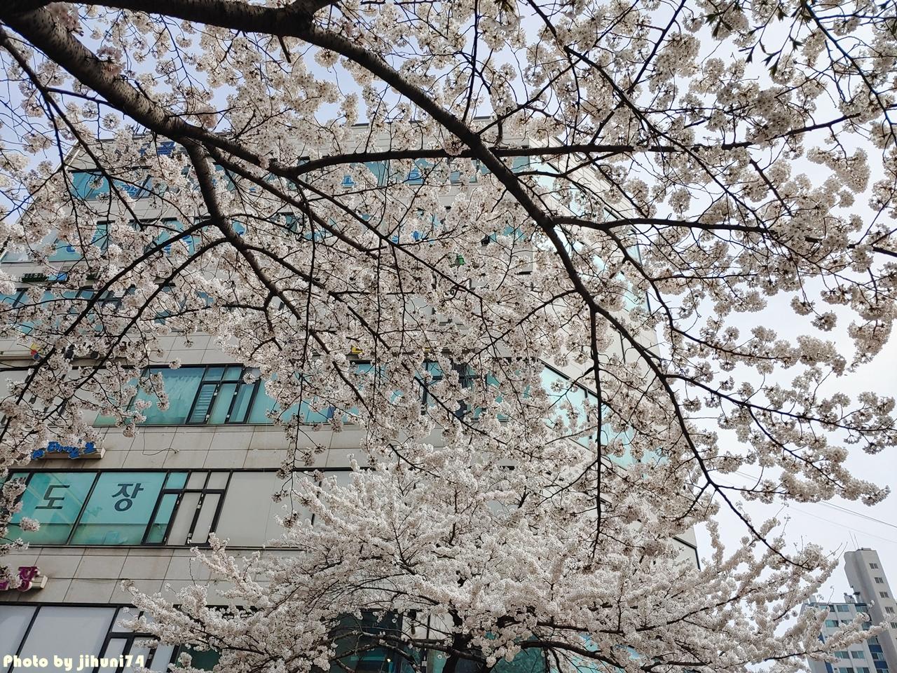 [경기 김포] 일상 속 봄 느낌 가득한 장소, 계양천 벚꽃길