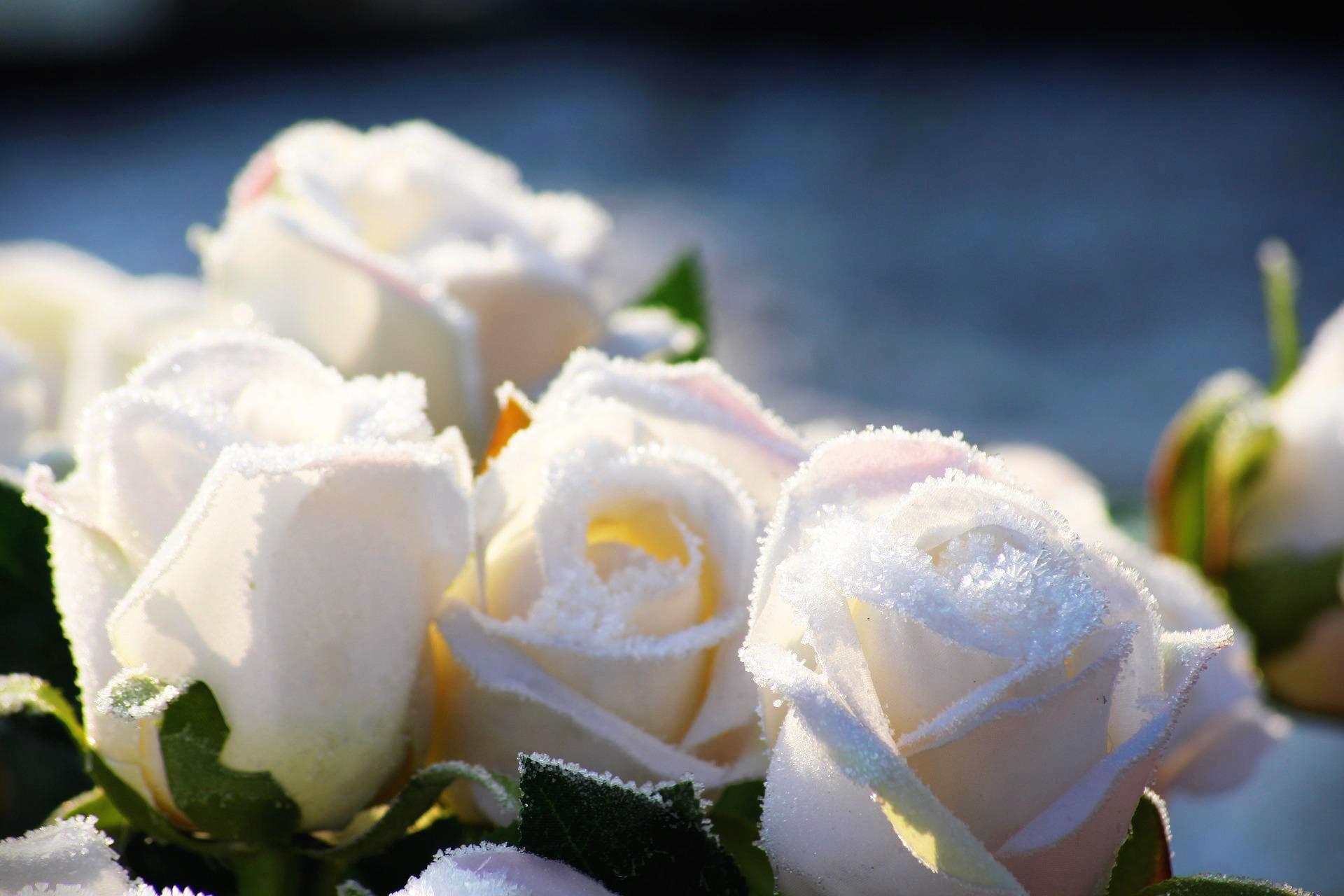 흰장미꽃말