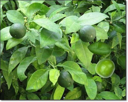 라임 열매