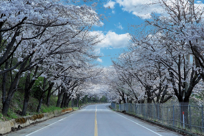 부귀리벚꽃길2