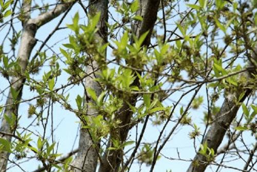 두충나무껍질05