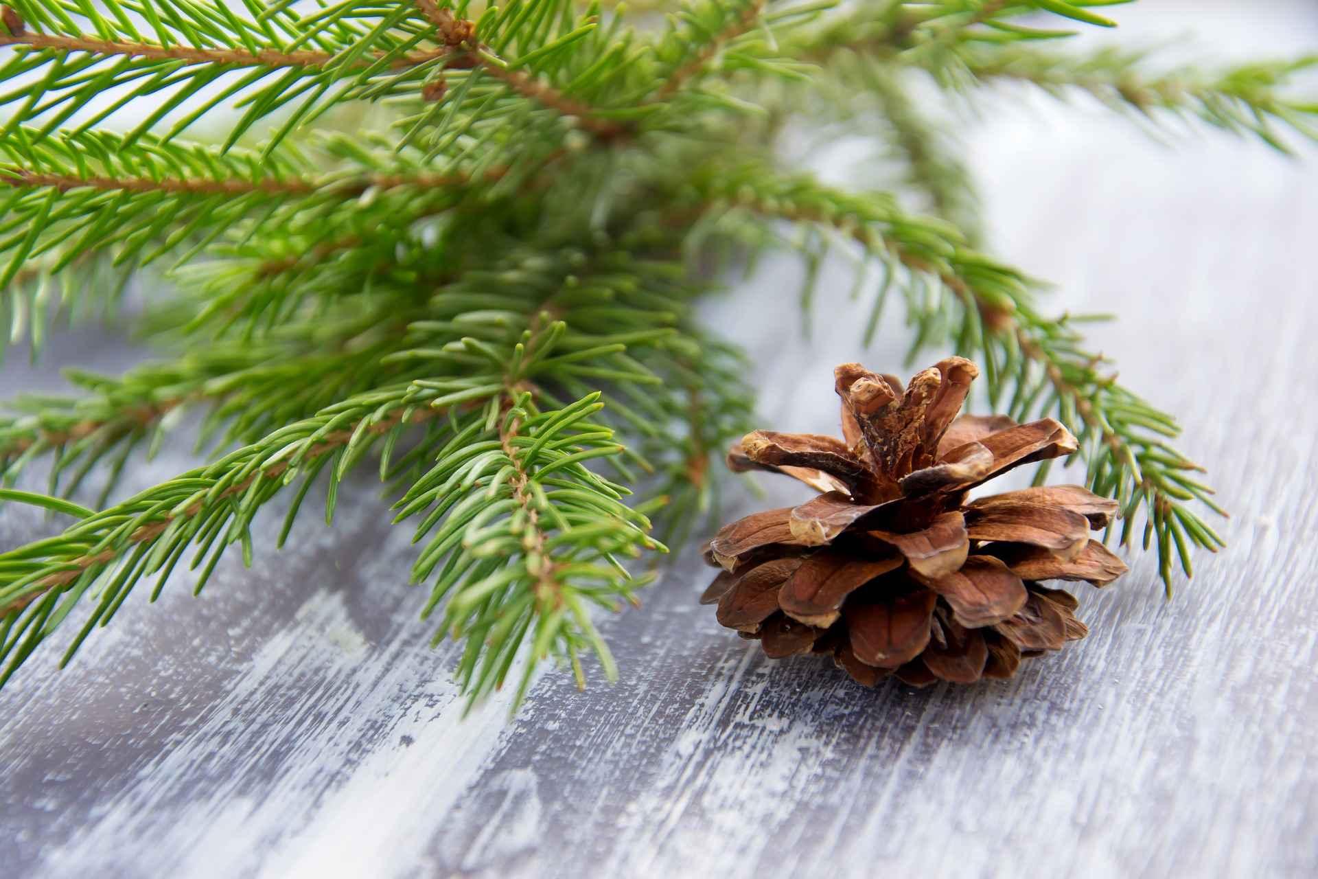 소나무 사진