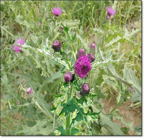 밀크씨슬 식물