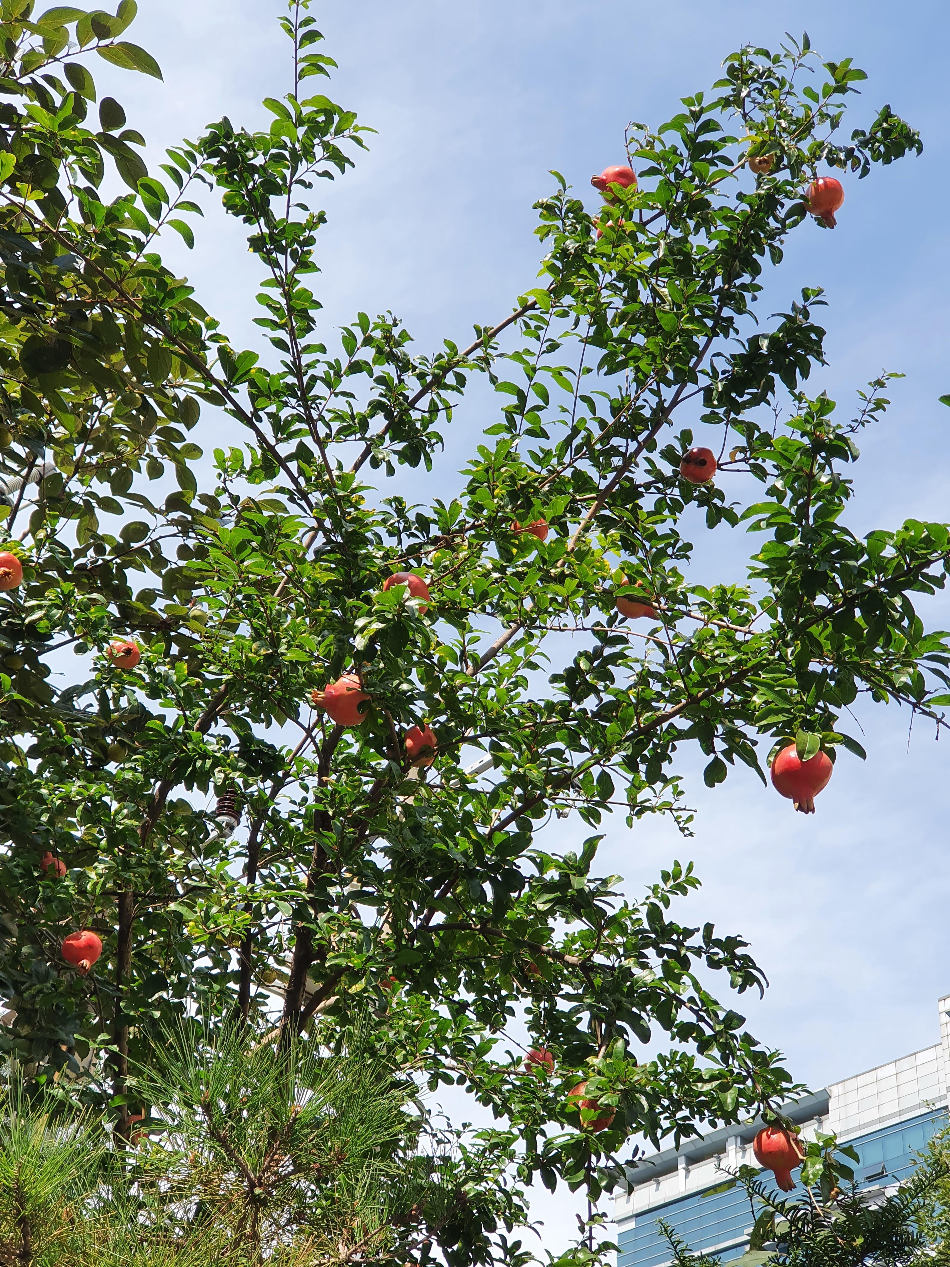 석류가 익는 계절