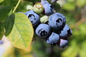 신장에좋은과일10