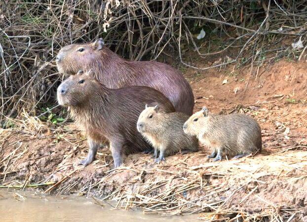 카피바라 가족들