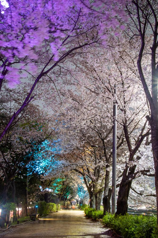밤 벚꽃 명소로 태어난  광명시 쪽 안양천 벚꽃길