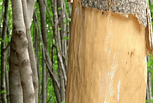 두충나무껍질04