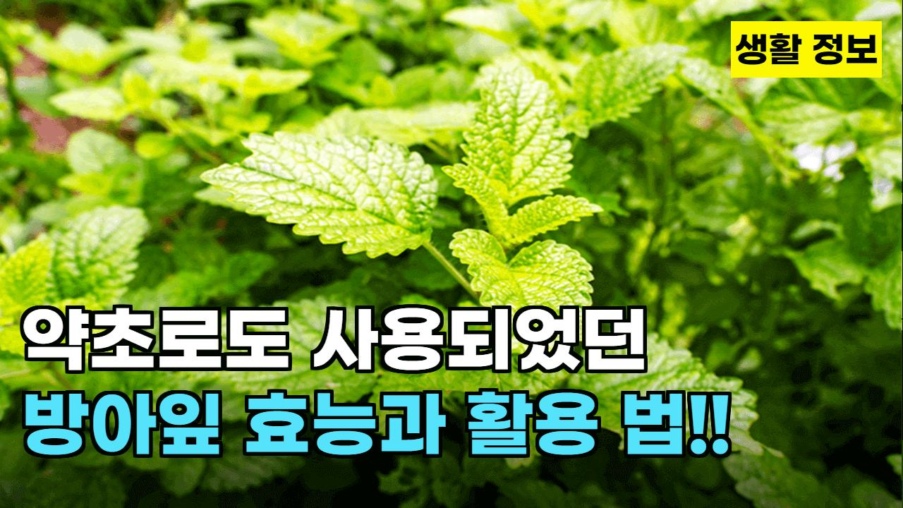 방아잎 사진1