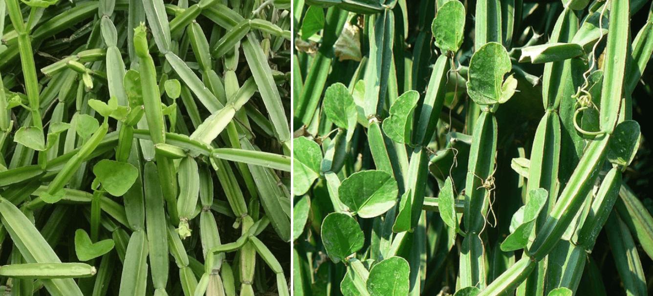 식물-시서스-사진